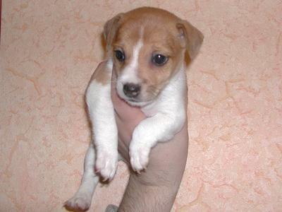 Фотографии щенки и собаки породы джек