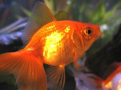 for Ornamental pond fish golden